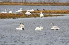 Vita svanar i flodfältet, Litauen arkivbild