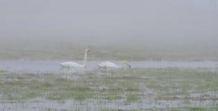 Vita svanar i morgondimma royaltyfri foto