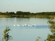 Vita svanar i sjön i sommar, Litauen royaltyfria bilder