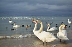 Vita svanar i stranden Arkivbilder