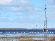 Vita svanar, Litauen fotografering för bildbyråer