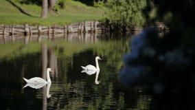 Vita svanar med grönt gräs Vita svanar simmar och äter lager videofilmer