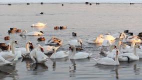 Vita svanar och änder på floden Fåglar viftar med deras vingar och att putsa dess fjädrar lager videofilmer