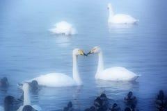 Vita svanar och änder som simmar på vattnet Royaltyfria Bilder