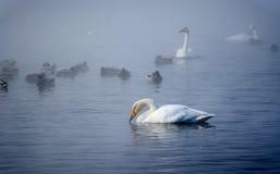 Vita svanar och änder som simmar på vattnet Arkivbild