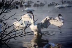 Vita svanar och änder som simmar på vattnet Royaltyfri Foto