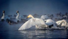 Vita svanar och änder som simmar på vattnet Arkivfoto
