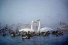 Vita svanar och änder som simmar på vattnet Fotografering för Bildbyråer