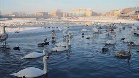 Vita svanar och änder som simmar på vinterfloden arkivfilmer
