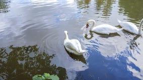 Vita svanar på dammet arkivbilder