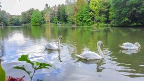 Vita svanar på dammet fotografering för bildbyråer