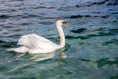 Vita svanar på en sjö fotografering för bildbyråer
