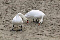 Vita svanar på en strand arkivfoton