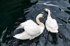 Vita svanar på sjön arkivfoton