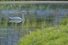 Vita svanar på sjön arkivbilder