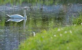 Vita svanar på sjön fotografering för bildbyråer
