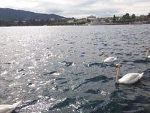 Vita svanar på sjön royaltyfria foton