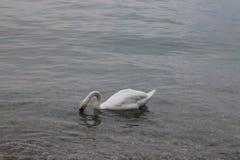 Vita svanar på sjön Garda Italien arkivbilder