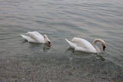 Vita svanar på sjön Garda Italien royaltyfria bilder