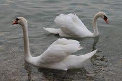 Vita svanar på sjön Garda Italien royaltyfri bild