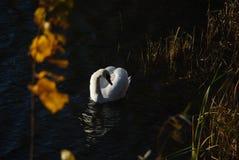Vita svanar på solnedgångstrålar parkerar sjön royaltyfria foton