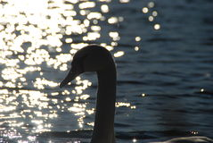 Vita svanar på solnedgångstrålar parkerar sjön royaltyfri foto