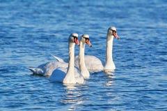 Vita svanar på Black Sea Arkivfoton