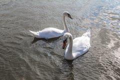 Vita svanar p? dammet fotografering för bildbyråer