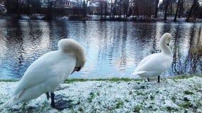 Vita svanar smyckar kanalen i Polen royaltyfri foto