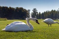 Vita svanar som äter sparat gräs i grön sommar Fåglar med den vita fjädern i mitt av ängen arkivbilder