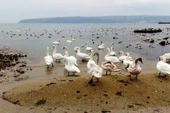 Vita svanar som övervintrar på havet royaltyfria bilder