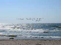 Vita svanar som flyger över havet, Litauen fotografering för bildbyråer