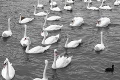 Vita svanar som simmar i sjön Härlig naturlig sikt med många w Arkivbild