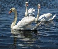 Vita svanar som svävar behagfullt på den blåa yttersidan av sjön stock illustrationer