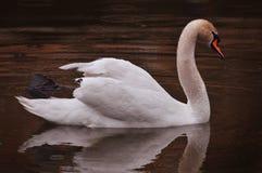 Vita svanbad i aftonsjön i regnet royaltyfri bild