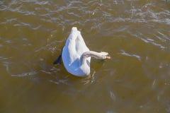 Vita svanbad längs floden dyker söka efter mat på en solig eftermiddag royaltyfria bilder