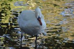 Vita svanrubs oljer i fjädrar för att göra dem den vattentäta behagfulla fågeln på en sjö på kusten royaltyfria bilder