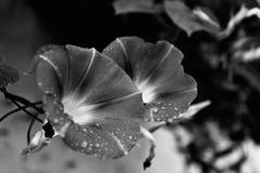 vita svarta blåa blommor Royaltyfri Foto