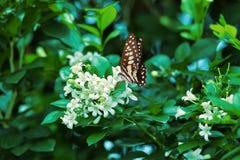 Vita svarta blåa fjärilar sätta sig på vita blommor och nya gröna tjänstledigheter royaltyfri foto