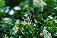 Vita svarta blåa fjärilar sätta sig på vita blommor och nya gröna tjänstledigheter royaltyfri fotografi