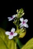 vita svarta blommor för bakgrund Royaltyfria Bilder