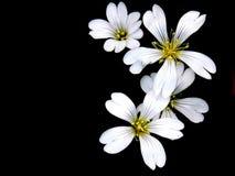 vita svarta blommor för bakgrund Arkivfoton