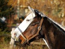 vita svarta hästar Arkivfoto
