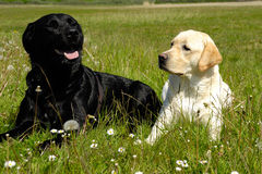 vita svarta hundar Royaltyfri Foto