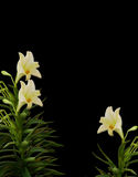 vita svarta liljar Fotografering för Bildbyråer