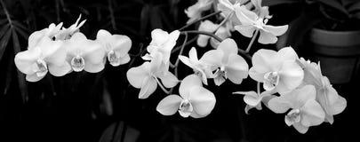 vita svarta orchids Arkivbild