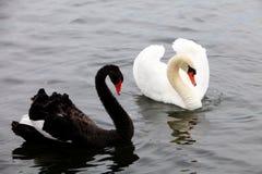 Vita & svarta svanar Royaltyfria Foton