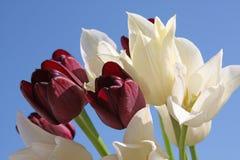 vita svarta tulpan Royaltyfria Foton