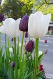 vita svarta tulpan Fotografering för Bildbyråer