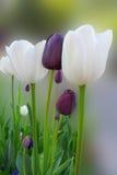 vita svarta tulpan Arkivbilder